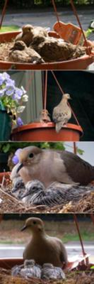 More Baby Doves