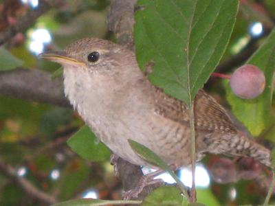 Our First Wrens