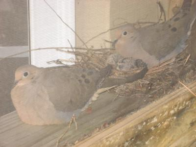 5 days old! Proud momma & daddy dove!