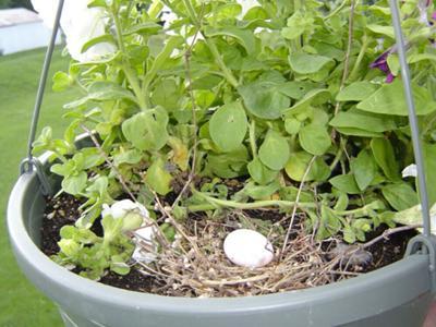 Dove Nest In Hanging Petunia