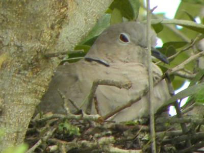 Mourning Doves nesting