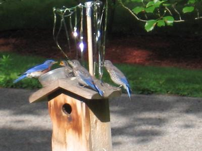 bluebird bird feeder photo eastern feeders wild bluebirds birds unlimited wbu