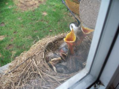 Babies Robins Calling To Their Parents....