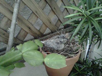 Earlier chicks in same nest