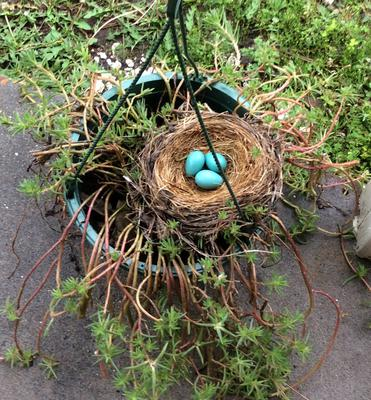 Blue robin eggs April 9, 2016