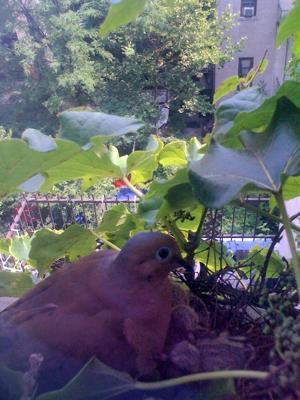 Dove Nest On Window Ledge