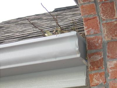 Dove Nesting in Gutter