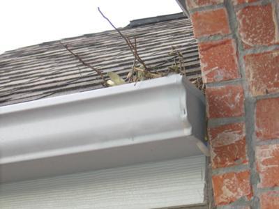 Dove Nesting in Gutter