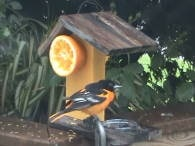 oriole fruit feeder