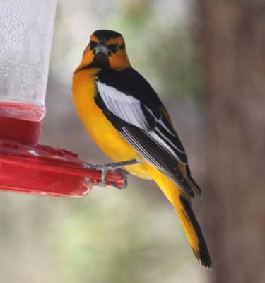 Hummingbird Feeders And Other Birds