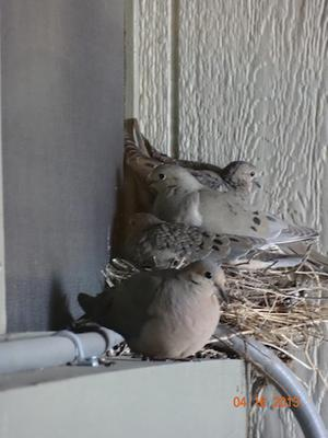 Four Dove in the Nest
