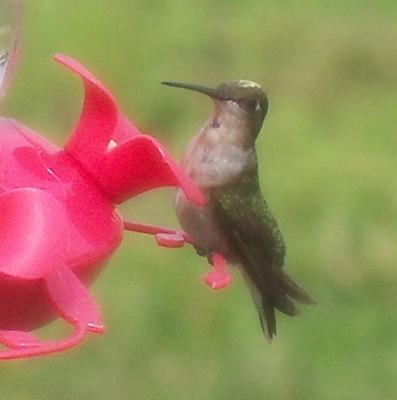 Our Resident Hummer