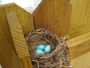 Pool Robin 3 Eggs