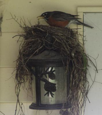 Robins Nest In Unusual Place