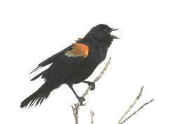 Red-Winged Blackbird Poem