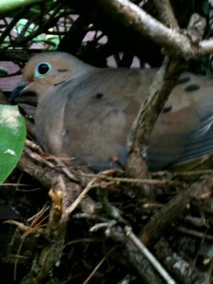 Mourning Dove In Madison, CT