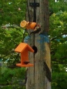 Woodpecker acrobatics