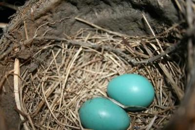 Beautiful Baby Blue Robin Eggs in a Nest on the Ceiling of our Garage