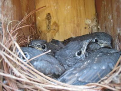 Baby Blues In Nest Before Fledging - Fledge May 9, 2008