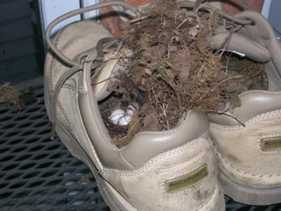Wren Nest In Shoe