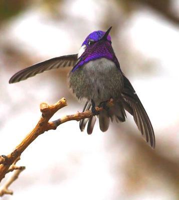 Costa's Hummingbird, Purple Beauty!