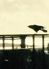 One legged crow