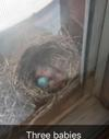 #3 hatched