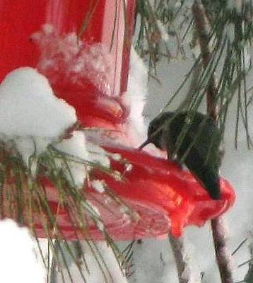 hummingbird feeding with snow all around
