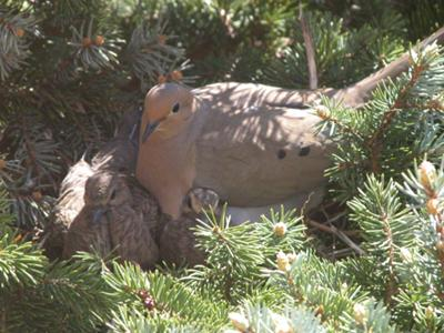 Two Squabs and One Adult Dove in Nest