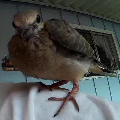 Walter Pigeon Dove