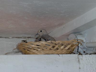 male dove in wicker basket nest