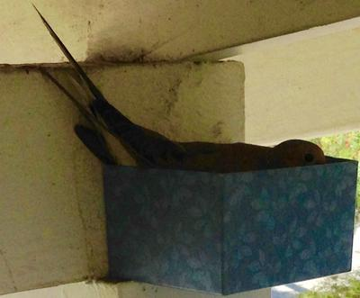 Nesting wood dove in a tiny box