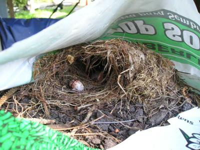 Wren Nest in Bag Of Garden Dirt