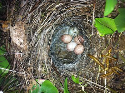 Wren eggs and one cowbird egg