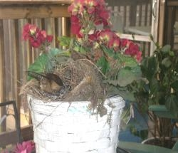 Momma Wren feeding Chick