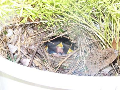 Wren Nest In Fern
