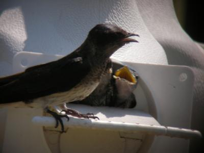 Male Subbie Feeding Young in Gourd