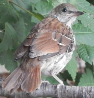 fledgling brown thrasher