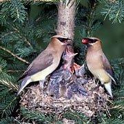 cedar waxwing nesting