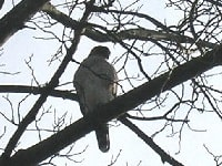 Coopers Hawk Watching Bird Feeder From Tree