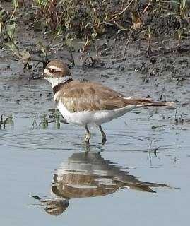 Adult Killdeer