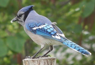 Bluejay Bird What Do They Eat Where Do They Nest