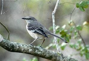 The Northern Mockingbird Nesting Mating Feeding Habits