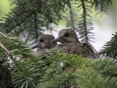 A Pair of baby doves (squabs) peering out of the nest