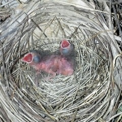 baby cardinals in nest