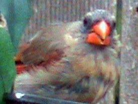 bald cardinal bird