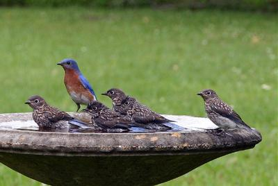 Bath Time For Bluebirds
