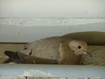 May 27, 2011 dove in nest