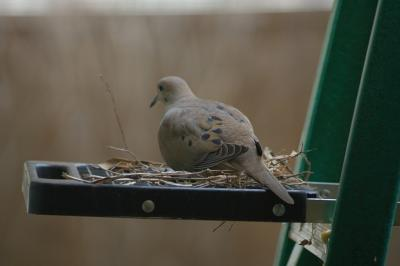 Dove on a ladder
