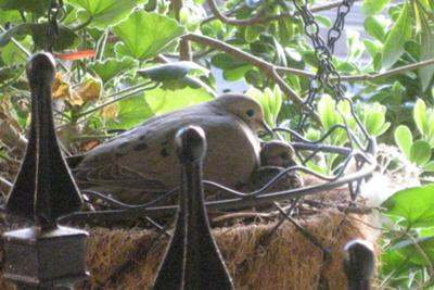 Dove Mother and Chick